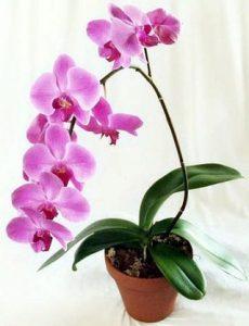 Вирощування орхідеї в домашніх умовах
